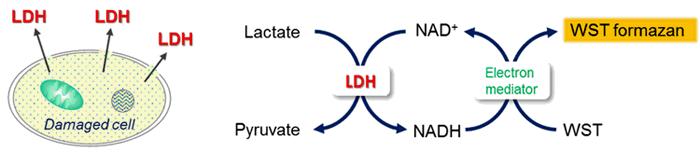 脱水 素 と は 酵素 乳酸